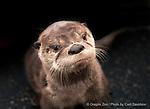 Juvenile North American river otter  ©