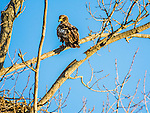 Bald Eagle juvenile yearling.