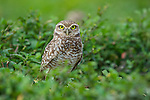 Burrowing Owl (Athene cunicularia) outside burrow. Hato La Aurora Reserve, Los Llanos, Colombia.