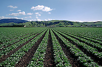Rows of green leaf lettuce, Salinas Valley, California