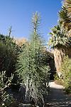 IDRIA COLUMNARIS, BOOJUM TREE