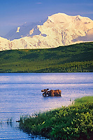 Bull moose feeds in Wonder Lake, snow covered Mt. Denali in the distance, Denali National Park, Alaska.