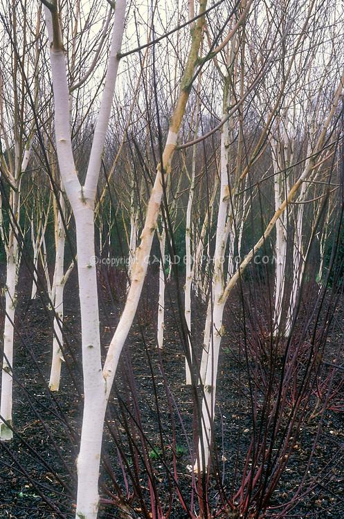 Betula utilis var. jacquemontii birch trees with Cornus 'Kessselringii' in winter bark and stmes