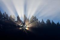 Sunrays Through Pine Tree Forest at Sunrise, Cascade Mountain Range, Washington, USA.