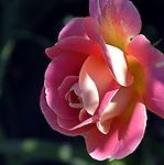 Hot Roses