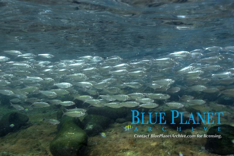 Sardines, Harengula sp., schooling in shallow water, Fernando de Noronha, Brazil, Atlantic Ocean