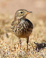 American pipit in December