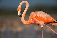 American Flamingo (Phoenicopterus ruber). Rio Lagartos Biosphere Reserve, Mexico. July.