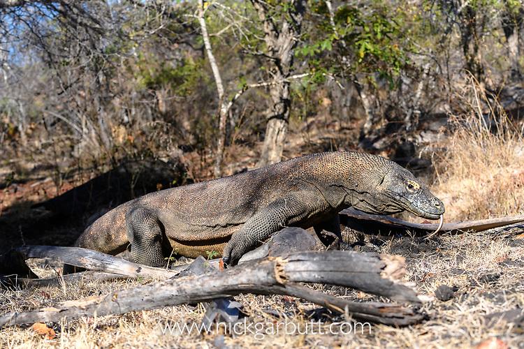 Close-up of large male Komodo dragon or Komodo monitor (Varanus komodoensis). Rinca Island, Komodo National Park, Indonesia. Endangered.