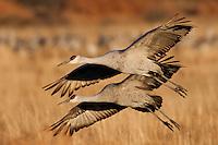 Sandhill Cranes in flight, Bosque del Apache NWR, New Mexico