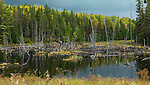 Drowned trees with fall nature scenery in the background. Algonquin Provincial Park, Ontario, Canada.