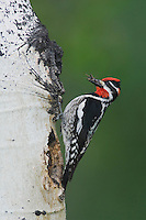 Red-naped Sapsucker, Sphyrapicus nuchalis, adult with prey at nesting cavity in aspen tree, Rocky Mountain National Park, Colorado, USA, June 2007