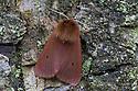 Ruby Tiger moth {Phragmatobia fuliginosa} Oxfordshire, UK. July.