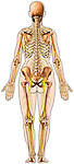 Skeleton (Skeletal System) Anatomy and Nerves within Body Outline, Posterior View.