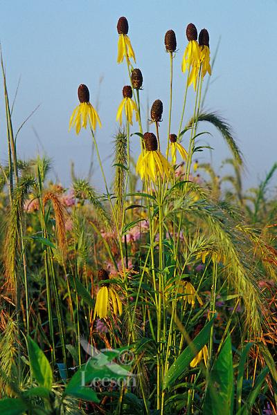 Tall grass prairie near Des Moines, IA. Grayhead coneflower, canada rye, and bee balm.