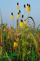 Tall grass prairie near Des Moines, IA. Grayhead coneflower, canada rye, and bee balm.