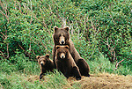 A family of brown bears in Alaska.