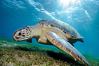 Green sea turtle feeding on Seagrass in Abu Dabab, South Egypt, Chelonia mydas;