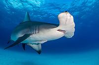 great hammerhead shark, Sphyrna mokarran, endangered species, Bimini, Bahamas, Caribbean Sea, Atlantic Ocean