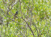 Audubon's warbler (yellow-rumped warbler), Dendroica coronata. Wildrose Canyon, Death Valley National Park, California