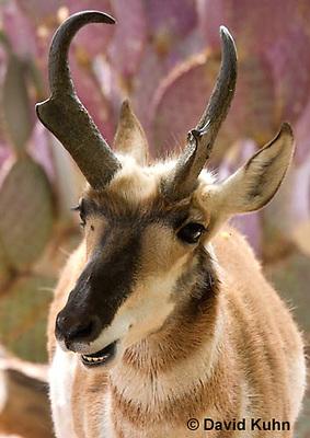 0606-1114  Pronghorn (Prong Buck) in Sonoran Desert, Antilocapra americana  © David Kuhn/Dwight Kuhn Photography