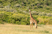 Masai Giraffe, Giraffa camelopardalis tippelskirchii, in Maasai Mara National Reserve, Kenya