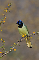 Green Jay, Cyanocorax yncas, adult on blooming Huisache (Acacia farnesiana), Starr County, Rio Grande Valley, Texas, USA