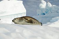 Crabeater seal, Lobodon carcinophagus, seal on the ice, Antarctica, Antarctic Peninsula