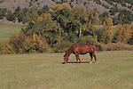 Horse grazing in a pasture near Telluride, Colorado.