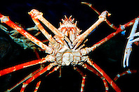 Japanese spider crab (c).Macrocheira kaempferi, the largest crab .in the world, grows up to 3m in leg span, .endemic to Japan, found in deep sea.