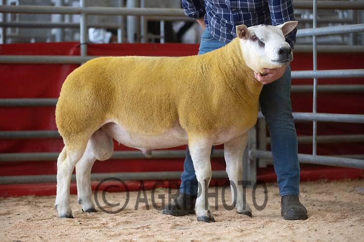 29.8.2020 The Welsh National Sale of Texel sheep, Welshpool Livestock Market<br /> Lot 93 Preenbank Carismo owned by Messrs J F Robinson & Sons sold for 2200 gns<br /> ©Tim Scrivener Photographer 07850 303986<br />      ....Covering Agriculture In The UK.