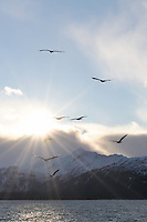 Bald eagles appear to fly out of the rising sun at the Homer Spit in Alaska.