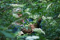 Holunderblüten-Ernte, Ernte, ernten, sammeln von Holunderblüten, Blüte, Blüten, Holunderblüte, Holunderblüten, Schwarzer Holunder, Holderbusch, Holler, Fliederbeeren, Fliederbeere, Sambucus nigra, Elder, Common Elder, Elderberry, black elder, European elder, European elderberry, European black elderberry, Le Grand Sureau, le Sureau commun, le Sureau noir