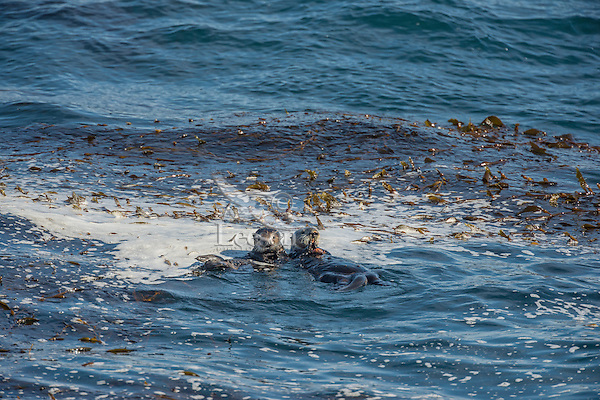 Southern Sea Otter (Enhydra lutris nereis) mom with 1/2 grown pup eating crab while resting in Pacific Ocean above kelp forest, Central California Coast.