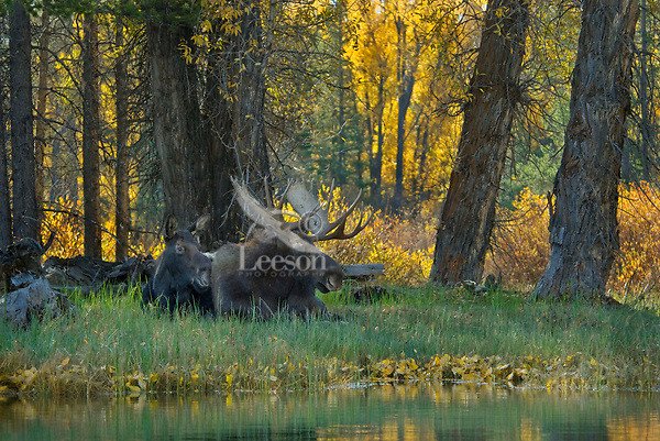 Cow and Bull Moose (Alces alces) resting during fall rut.  Western U.S.