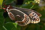 Cecropia Moth, Hyalophora cecropia, Southern California