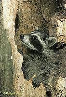 MA25-032z  Raccoon - young raccoon  in hollow tree cavity - Procyon lotor