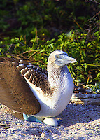 A Blue Footed booby with eggs.  Usually 2 to 3 eggs are laid and 1 to 2 chicks are hatched. Both male and female take turns incubating the eggs,