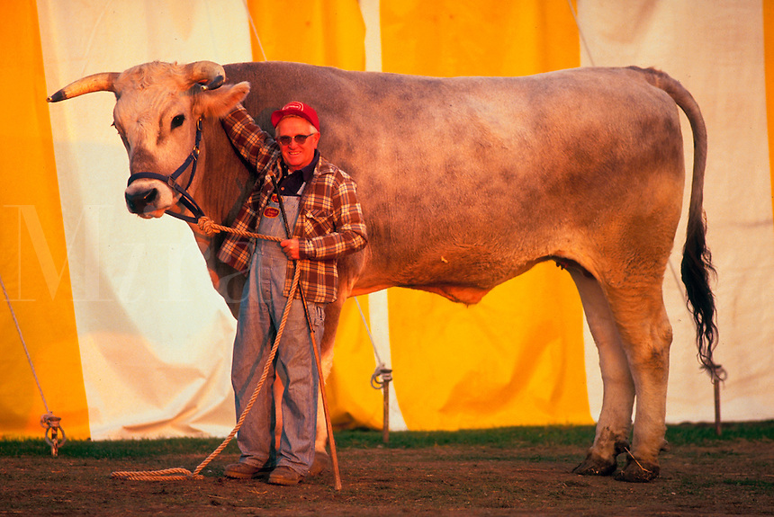 A farmer stands by his ox at a state fair showing.