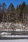 Trumpeter swans resting on a patch of ice in northern Wisconsin. A min