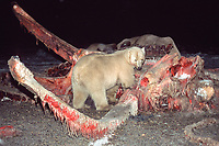 polar bear, Ursus maritimus, feeding on carcass of bowhead whale, Balaena mysticetus, Arctic National Wildlife Refuge, Alaska, polar bear, Ursus maritimus