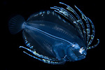 Black Water Dive, Cyclopsetta fimbriata larva, FL, Macro underwater marine life, scuba Diving, Spotfin Flounder, West Palm Beach