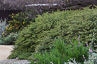 Baccharis pilularis, 'Harris Beach Mat', Coyote Brush cultivar - California native shrub in Rancho Santa Ana Botanic Garden