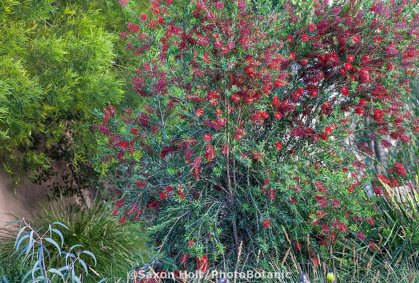 Callistemon 'Slim', red flowering shrub; Australian Native Plant Nursery, Ventura, California