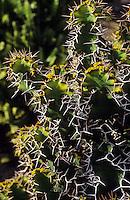 Europe/Espagne/Canaries/Lanzarote/Guatiza : Le jardin de cactus conçu par Cesar Manrique - Euphorbia grandicornis