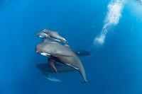 longfin pilot whale, Globicephala melas, with newborn calf, still showing fetal folds, Straits of Gibraltar, Mediterranean Sea, Atlantic Ocean
