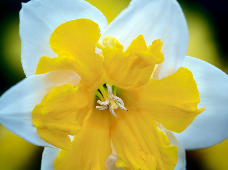Close up of daffodil. Oregon