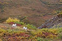 Dall sheep rams run across an autumn colored ridge in Polychrome pass in Denali National Park, Alaska.
