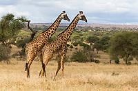 Tanzania.  Tarangire National Park. Two Maasai Giraffes, Scenic Overview in Background.