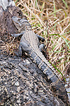 Damon, Texas; a 2-3 foot long, juvenile American alligator laying on a log in the slough on an overcast afternoon